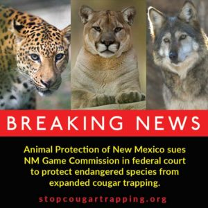 Judge: Challenge to cougar trapping may proceed