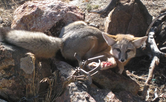 Swift fox caught and mutilated in trap