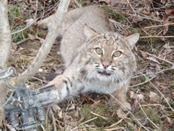 trapped bobcat