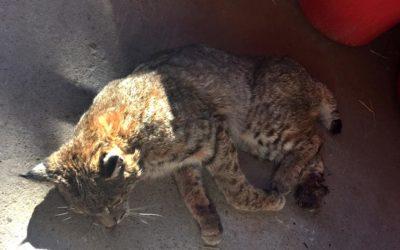 Bobcat in barn still had foot caught in illegal trap
