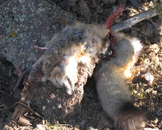 mutilated remains of fox caught in trap