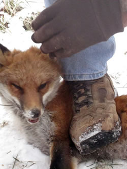 trapped fox crushed undefoot
