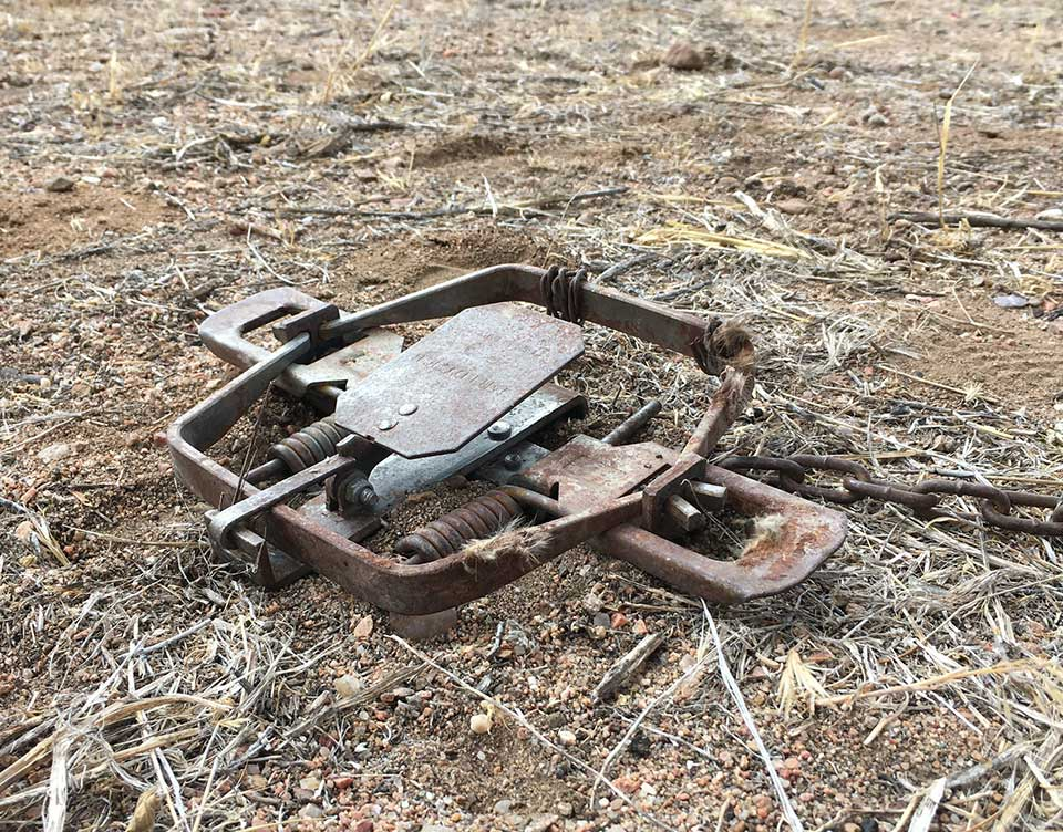 Steel-jaw trap found on Rowe Mesa, New Mexico