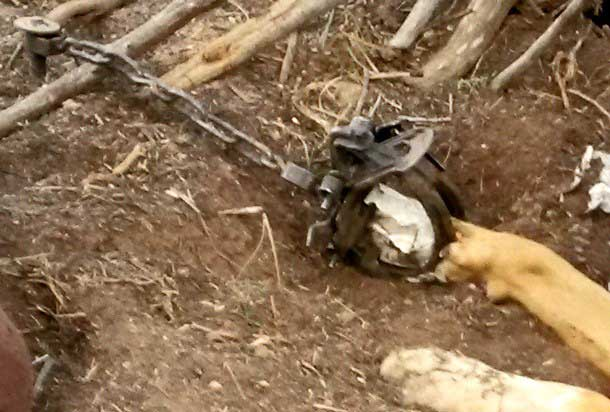 Another-Dog-Caught-in-a-Trap-in-the-Jemez-1-2