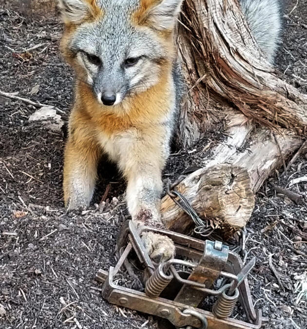 Man who freed fox from trap is in hot water