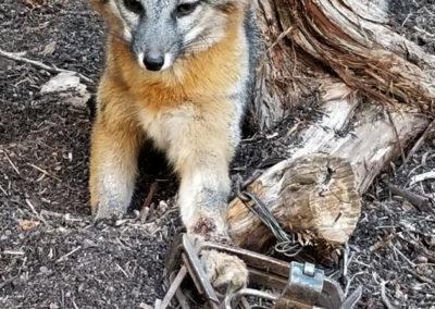 Fox in leg trap near placitas