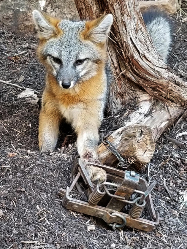 Fox in leg trap near an unpaved section of NM Highway 165 about a half-mile west of the Sandia Man Cave. Photo Courtesy: Lauri Dodge
