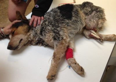 Dog that lost hind limbs due to steel jaw trap