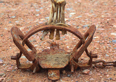 coyote paw bones in trap