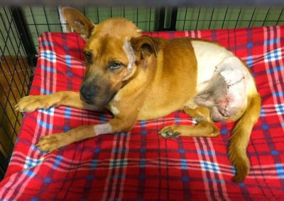 Kekoa, dog maimed by a leg hold trap, recovering from limb destruction and subsequent medical amputation