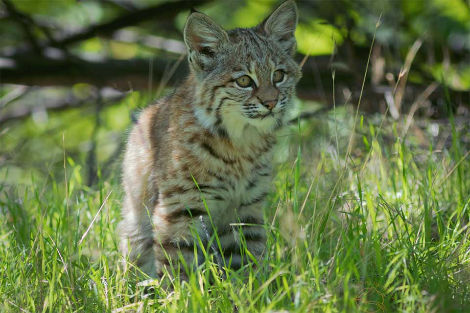 How bobcats, coyotes, and foxes help my farm