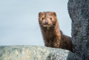 California bans the sale of fur