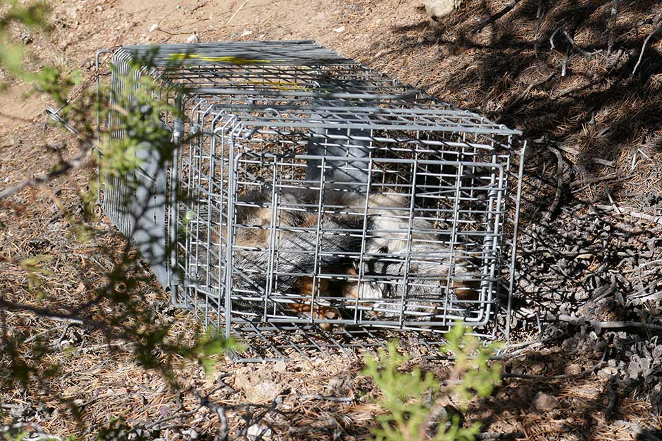 Fox died in trap that may have been illegal