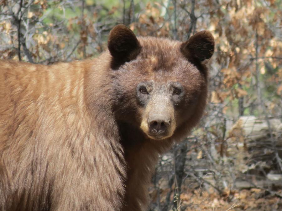NM game panel puts black bears at risk
