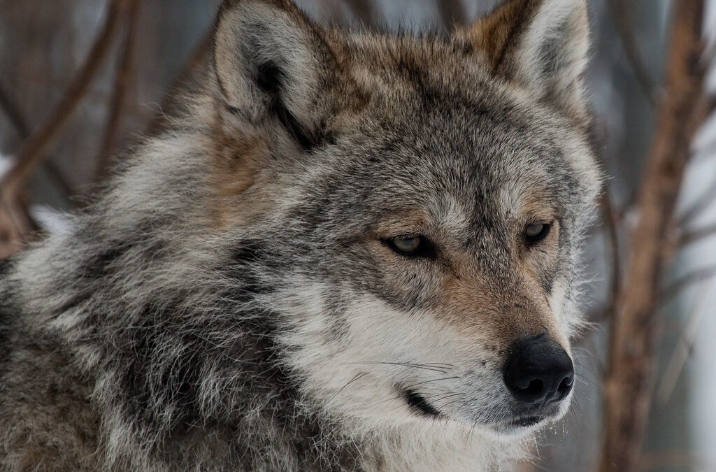 Inconsistency at Game and Fish: After state rejoins wolf recovery program, two pups caught in leghold traps