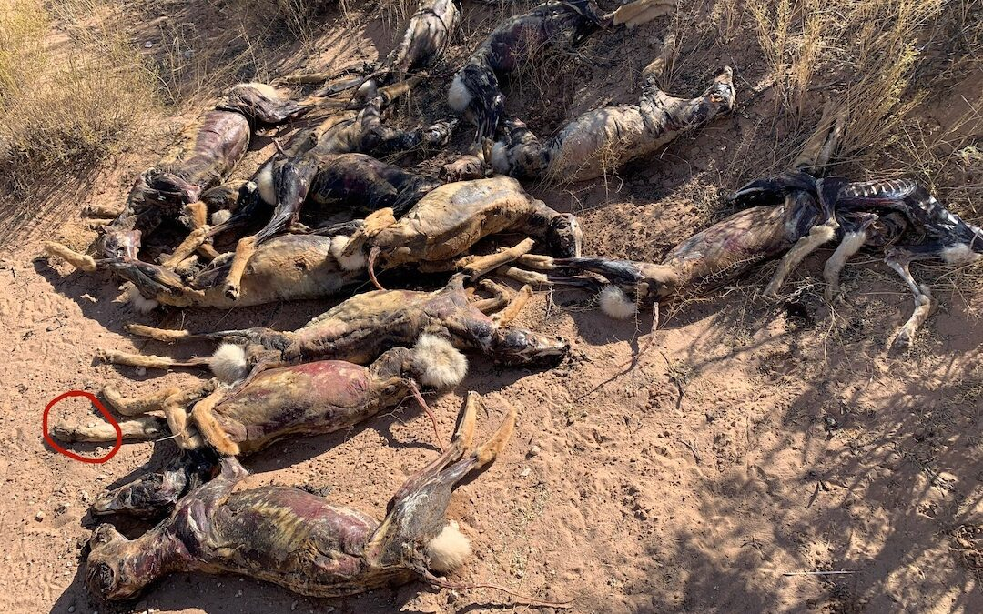 Las Cruces Sun-News: 'Pretty gruesome:' Skinned coyote carcasses piled in desert likely the work of trappers