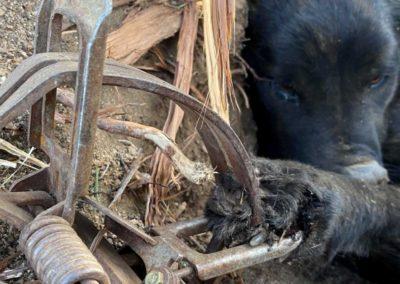 Steel jaw trap dog paw mutilation
