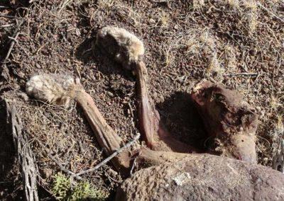 Skinned bobcat carcass