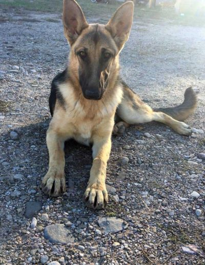 Ceniza - dog snare victim - Dixon, NM January 2021
