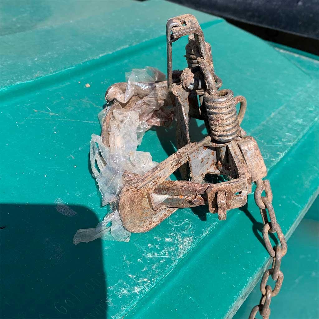 Farmnington steel jaw trap - April 2021